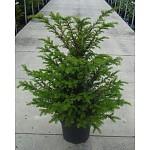Taxus Baccata uit eigen kwekerij tot aan uw voordeur